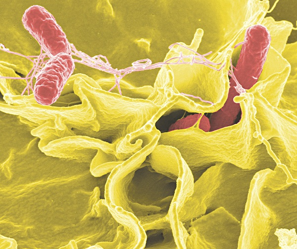 Credit: Rocky Mountain Laboratories,NIAID,NIH Color-enhanced scanning electron micrograph showing Salmonella typhimurium (red) invading cultured human cells.